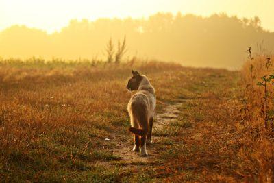 草, 田野, 猫, 暹罗猫, 道路, 阳光, 草, 日落