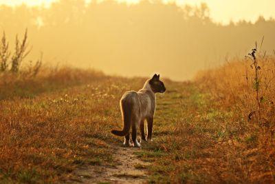 grass, field, sunshine, siamese cat, sunset, summer, nature, landscape, rural