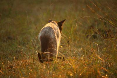 hierba, fauna, naturaleza, sol, Gato siamés, animal, verano, paisaje