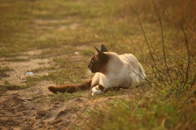 Tierwelt, Tier, Rasen, Natur, Siamkatze, Natur, Boden, Boden