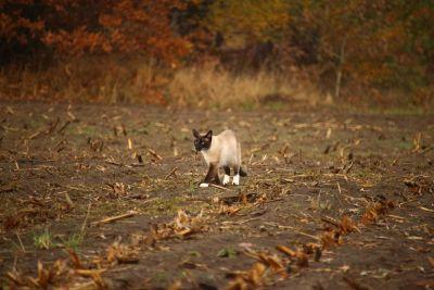 自然, 暹罗猫, 农业, 自然, 土壤, 地面