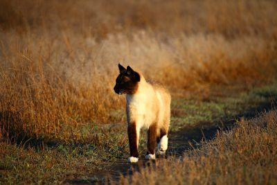 暹罗猫, 路, 草, 夏天, 动物, 爪子, 爪