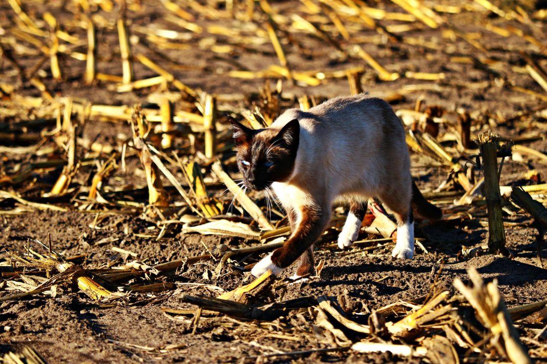自然, 暹罗猫, 野生动物, 毛皮, 脊椎动物, 土壤, 地面