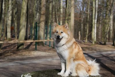 wood, dog, canine, husky, pet, animal, pedigree