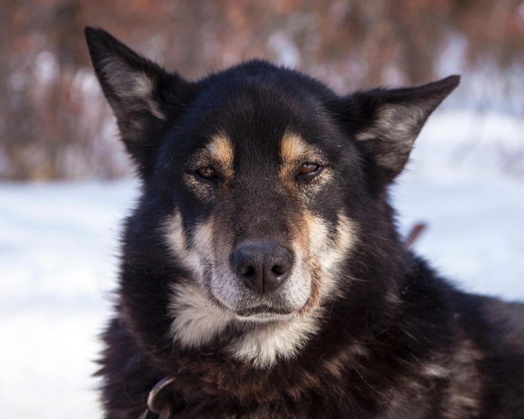 dog, canine, black dog, animal, pet, portrait