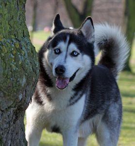 chien, chien, husky, arbre portrait, mignon, pet, animal, fourrure