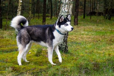 dog, canine, animal, grass, pet, husky, forest, summer