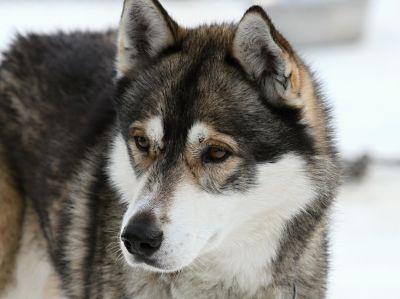 chien, husky, chiot, fourrure pour animaux de compagnie, chien, animal, mignon, portrait,