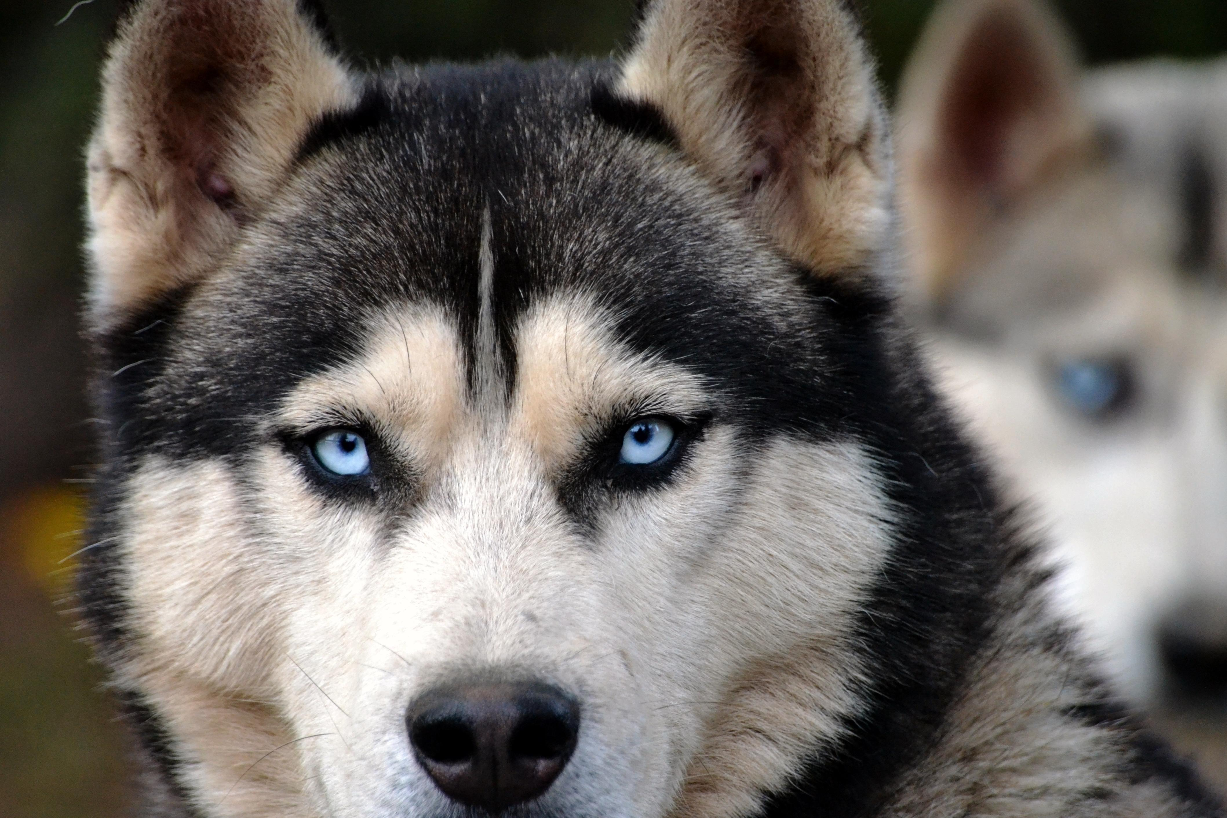 Image Libre Chien Husky Tête Portrait Canin Animal