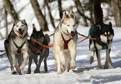 dog, winter, sled, snow, canine, fast, dogsled, vehicle