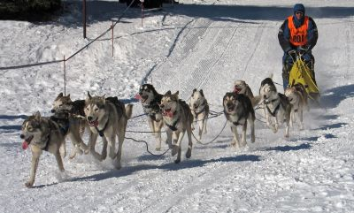 dog, sled, snow, canine, winter, race, competition, fast
