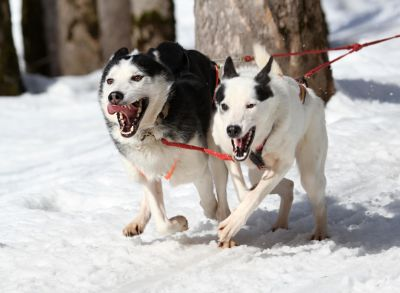 snow, winter, dog, canine, pet, cold, dogsled, sled