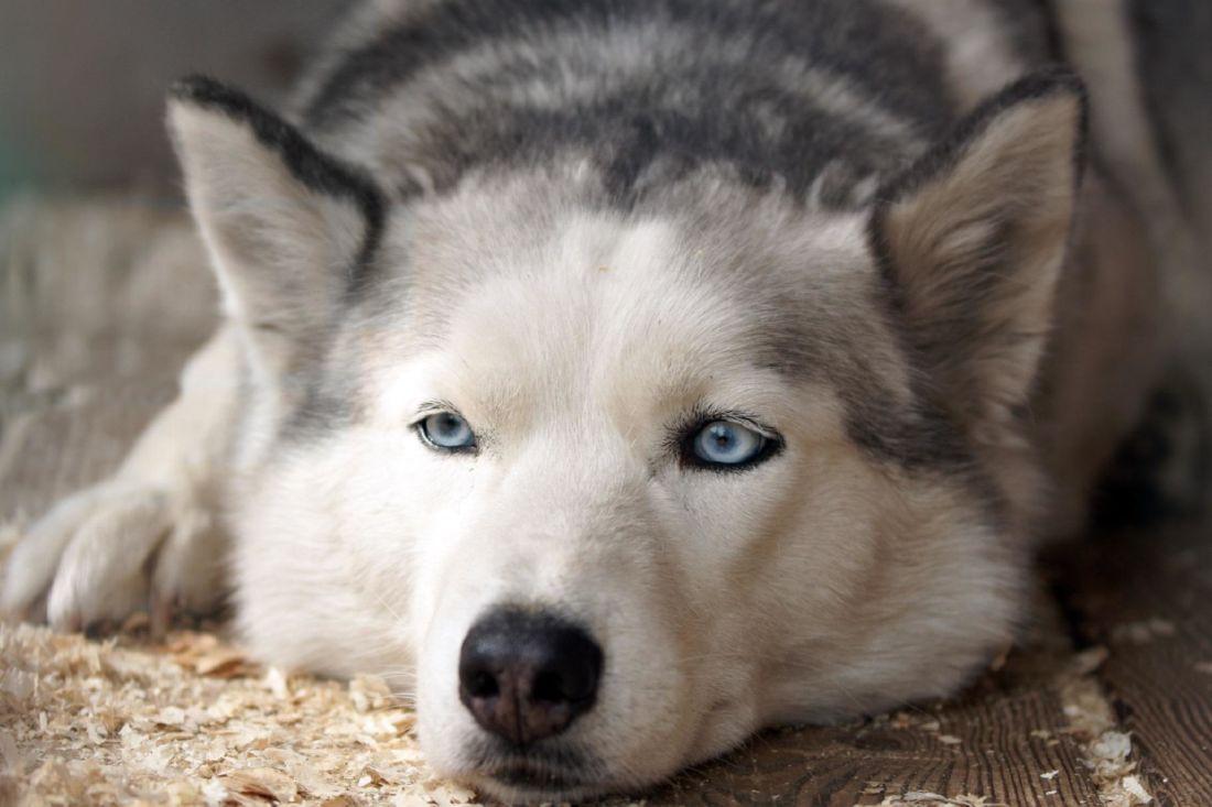 Image Libre Chien Animal Tête Portrait Canin Mignon Husky