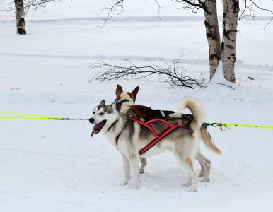 winter, snow, cold, sled, ice, dog, canine, dogsled