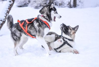 winter, snow, cold, dog, sled, canine, dogsled, vehicle