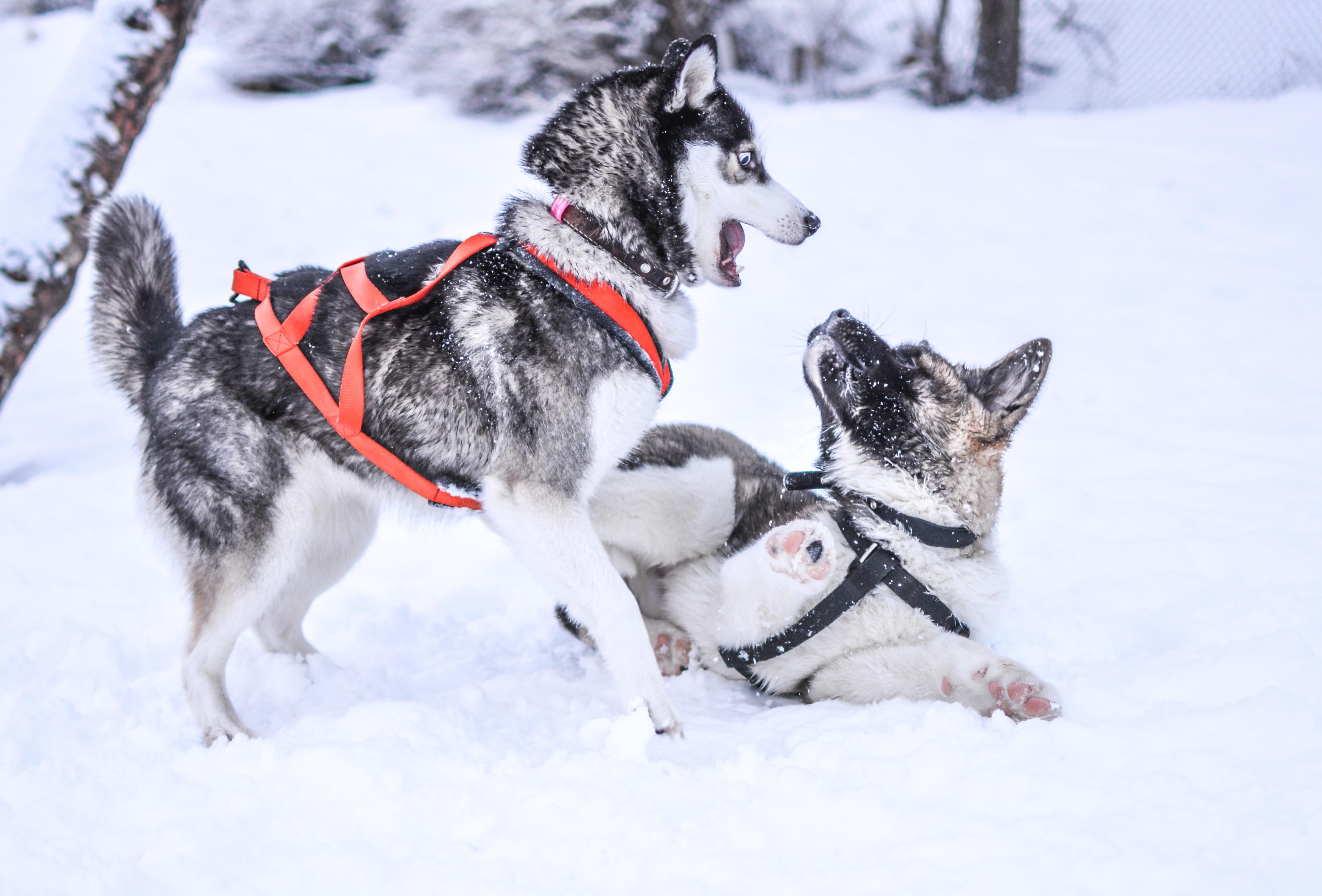 Kostenlose Bild Winter Schnee K 228 Lte Hund Schlitten