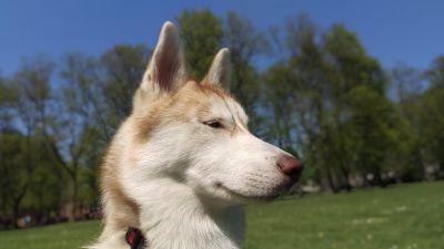 dog, canine, grass, husky, pedigree, head