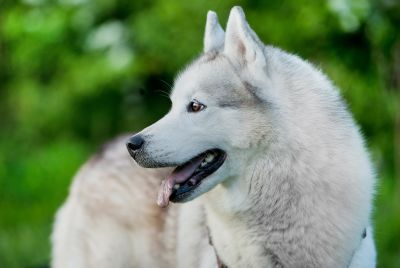 dog, canine, portrait, cute, husky, white dog, siberian, pet