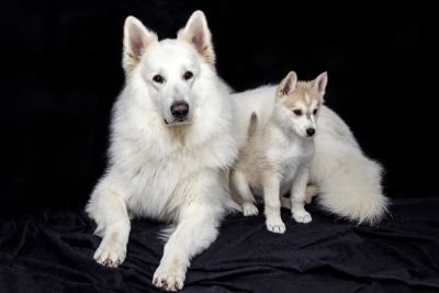 dog, canine, husky, siberian, photo studio