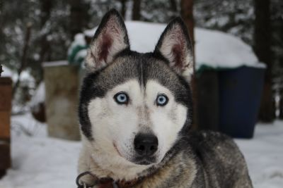 dog, canine, winter, husky, siberian, portrait, snow