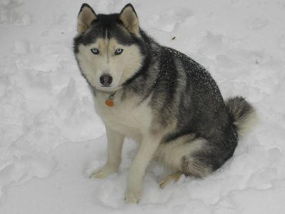winter, snow, dog, canine, husky, siberian, cold, pet