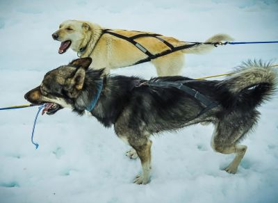 dog, snow, animal, winter, canine, dogsled, sport, pet