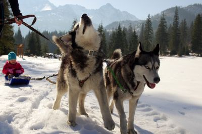 snow, winter, sled, dog, canine, cold, pet, animal