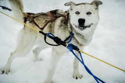 snow, winter, dog, cold, canine, ice, animal, pet, sled