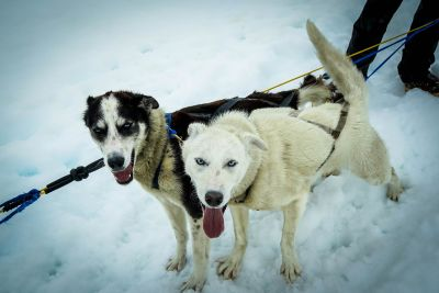 snow, dog, winter, canine, white dog, siberian, pet