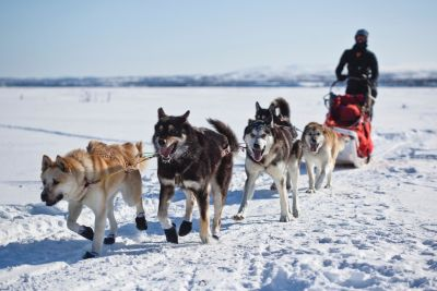 snow, dog, winter, canine, sled, dogsled, vehicle