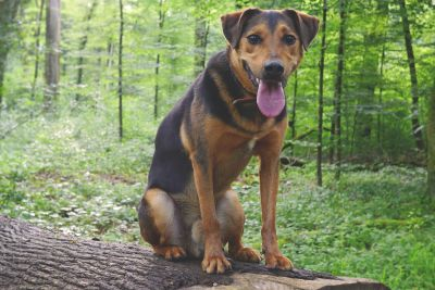 dog, pet, canine, pinscher, animal, forest