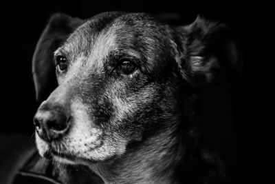 dog, canine, monochrome, portrait, animal, pet, cute