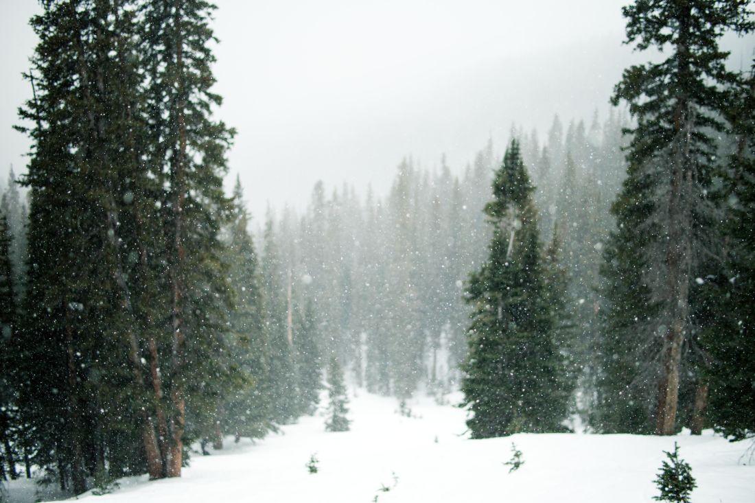 χιόνι, χειμώνα, ξύλο, δέντρο, αειθαλή, κωνοφόρα, πεύκο, τοπίο, χιονοθύελλα