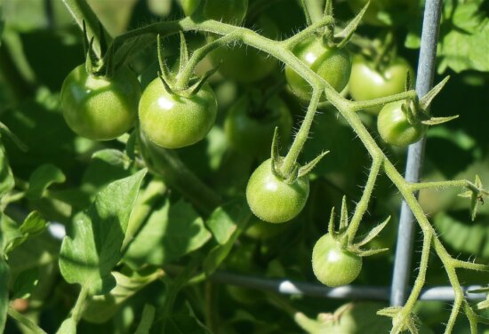 green, tomato, food, vegetable, leaf, greenhouse, agriculture, garden, organic
