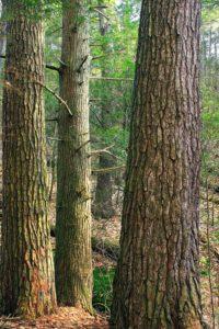 wood, tree, nature, landscape, moss, conifer, bark, oak, outdoor