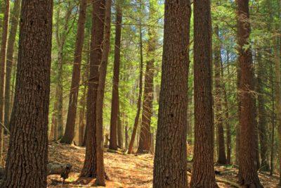 wood, tree, conifer, nature, landscape, evergreen, leaf