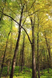 植被, 森林, 木头, 风景, 自然, 树, 叶子, 环境, 桦木