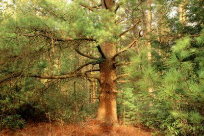 дърво, дърво, природа, пейзаж, бор, горски, иглолистни