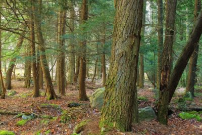 wood, tree, nature, red spruce, spruce, landscape, environment, leaf