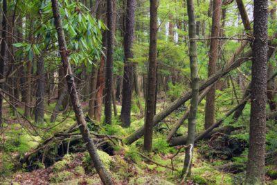 bois, nature, arbre, épinette rouge, épinette, moss, paysage, feuille, environnement