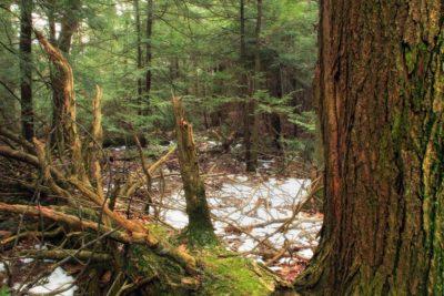 wood, tree, landscape, forest, conifer, nature, evergreen, moss