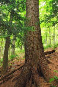 wood, tree, nature, summer, evergreen, bark, fern, hill, wilderness
