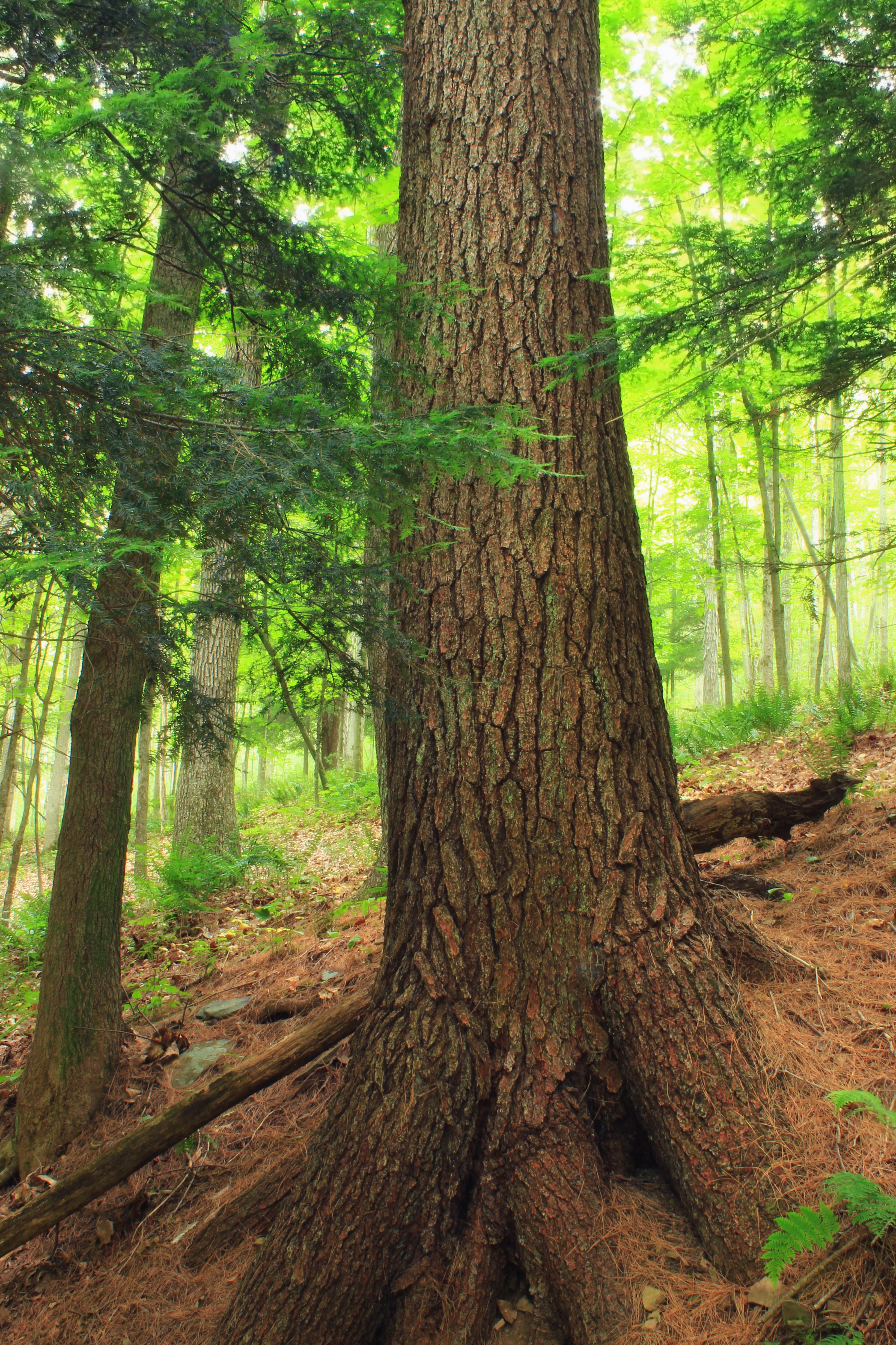 Free Picture  Wood  Tree  Nature  Summer  Evergreen  Bark