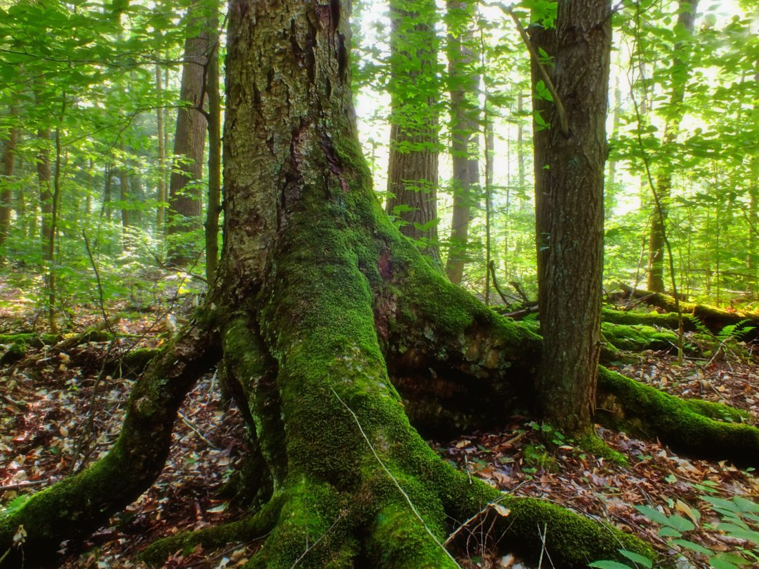 wood, nature, tree, root, ecology, leaf, moss, landscape, environment