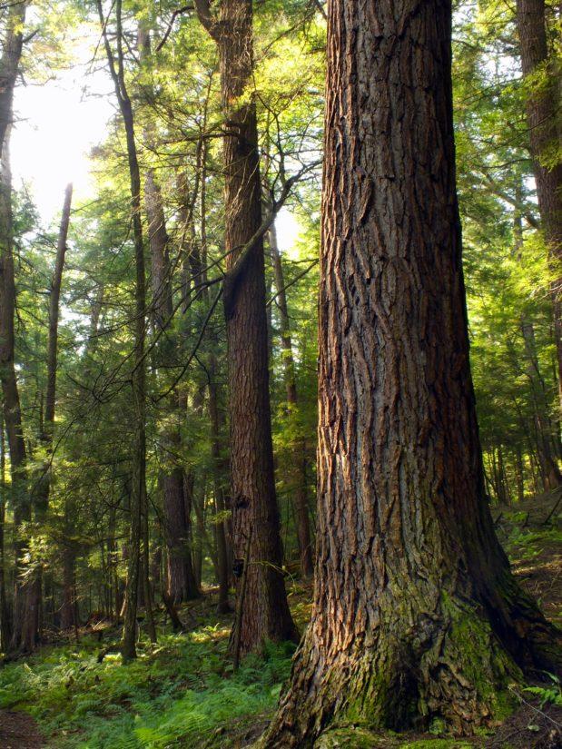 wood, ecology, tree, nature, landscape, wilderness, conifer, leaf, oak, bark