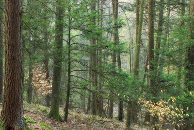 wood, nature, landscape, tree, leaf, fog, sun, environment, conifer