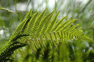 dettaglio, foglia, flora, natura, felce, ambiente, estate, pianta