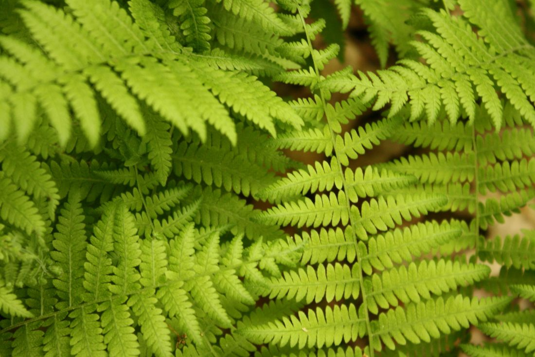 foglia, natura, felce, flora, estate, erba, ecologia, primavera, pianta, foresta
