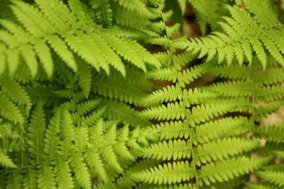 leaf, nature, fern, flora, summer, herb, ecology, spring, plant, forest