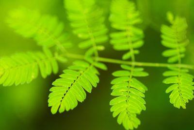 blad, flora, natuur, groen, kruid, varens, plant, bladeren, ecologie, bos